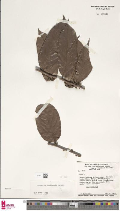 Casearia javitensis Kunth