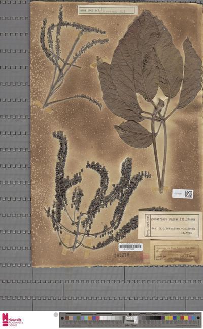 Elaeagnus  L.