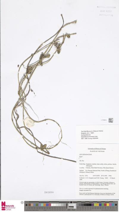 Dischidia tonkinensis Costantin
