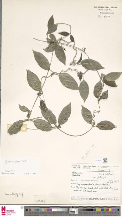 Marsdenia glabra Costantin