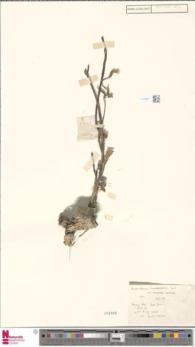 Marsdenia cambodiensis Costantin