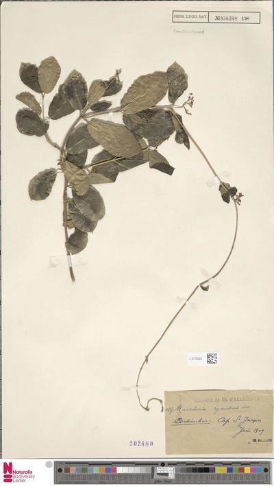 Marsdenia cyanescens Costantin