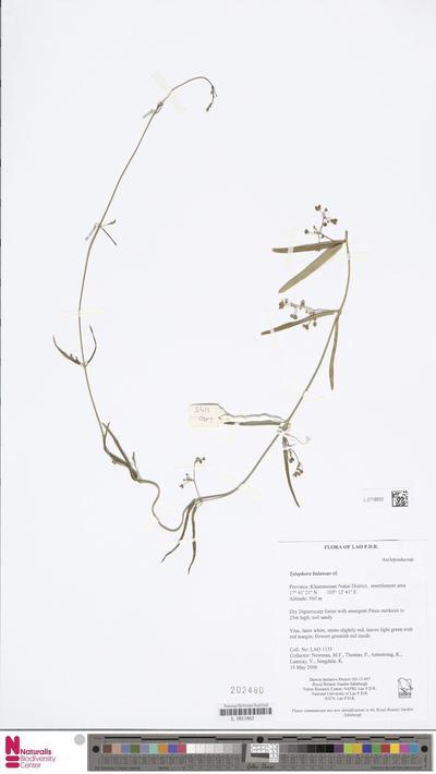 Tylophora balansae Costantin