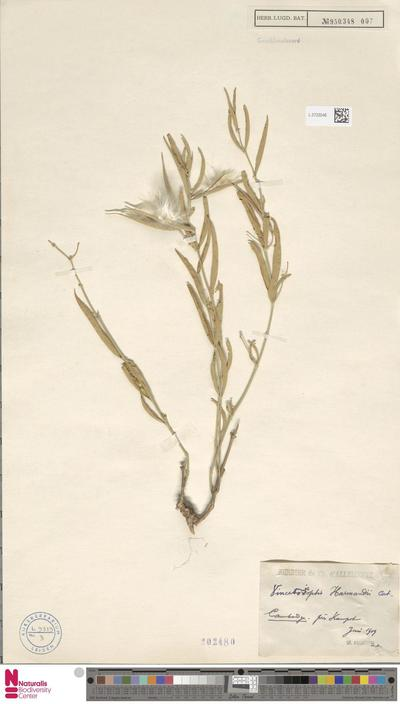 Vincetoxicopsis harmandii Costantin