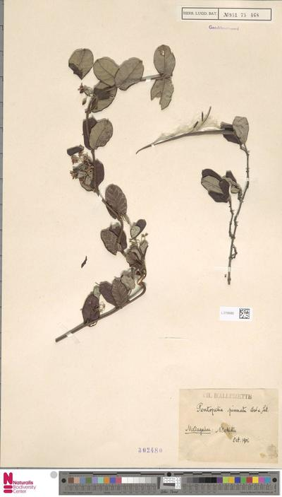 Pentopetia pinnata Costantin & Gallaud