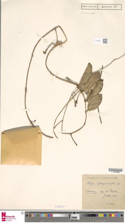 Hoya oblongacutifolia Costantin