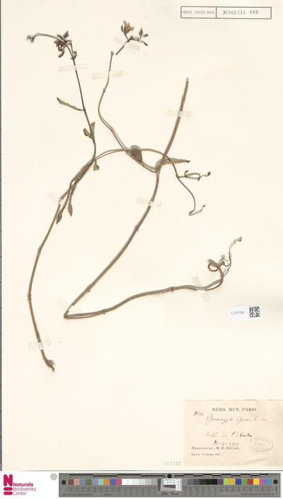 Gonocrypta grevei (Baill.) Costantin & Gallaud