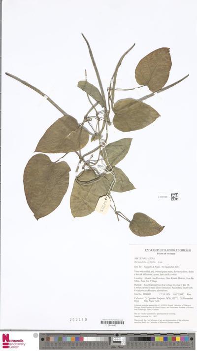 Harmandiella cordifolia Costantin