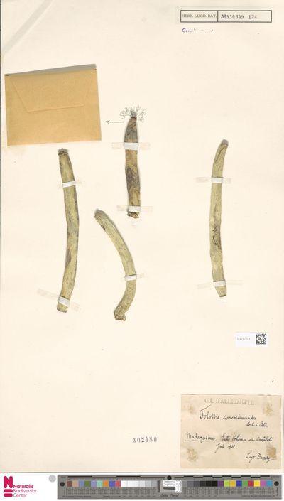 Folotsia sarcostemmoides Costantin & Bois