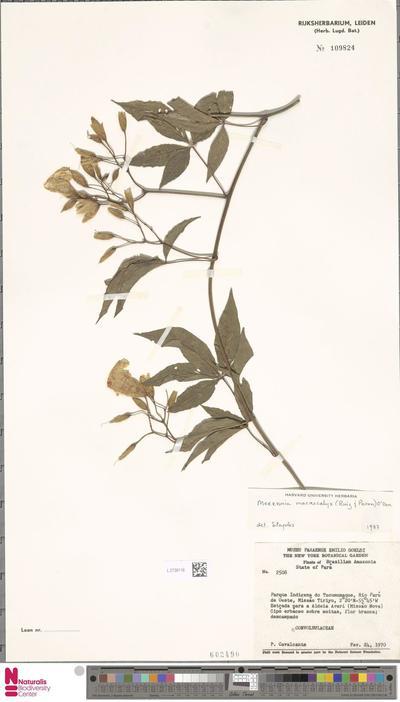 Merremia macrocalyx (Ruiz & Pav.) O'Donell