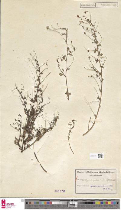 Lyperia pedunculosa Schltr.