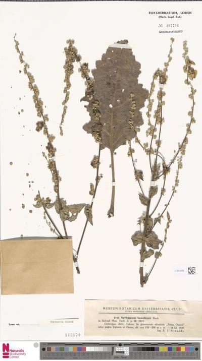 Verbascum nigrum L.