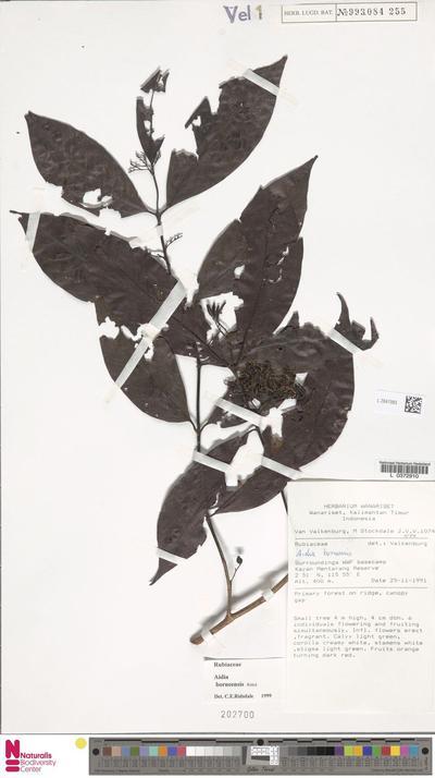 Aidia borneensis Ridsdale