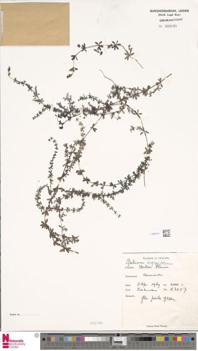 Galium asperifolium Wall.