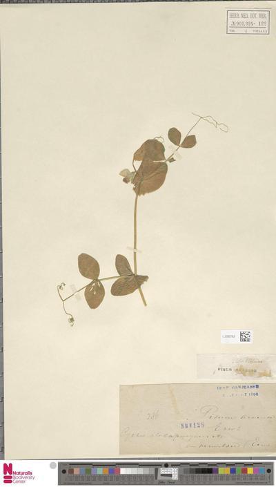 Pisum sativum L. subsp. arvense (L.) Asch. & Graebn.