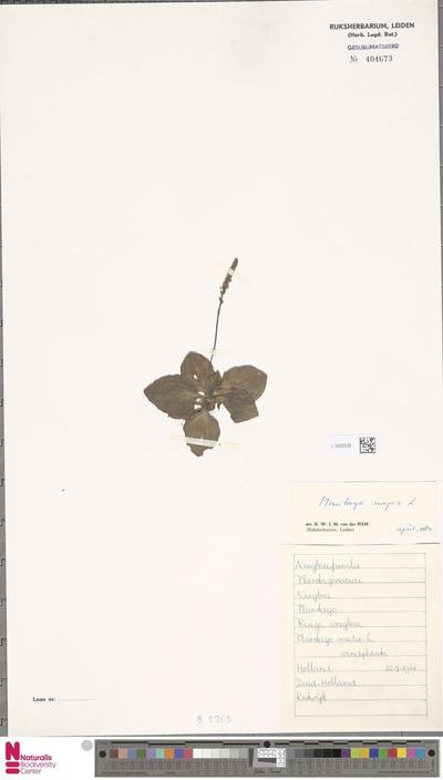Plantago major L. unknown ssp.