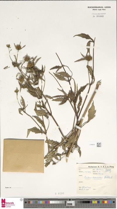 Bidens connata Muhl. ex Willd.