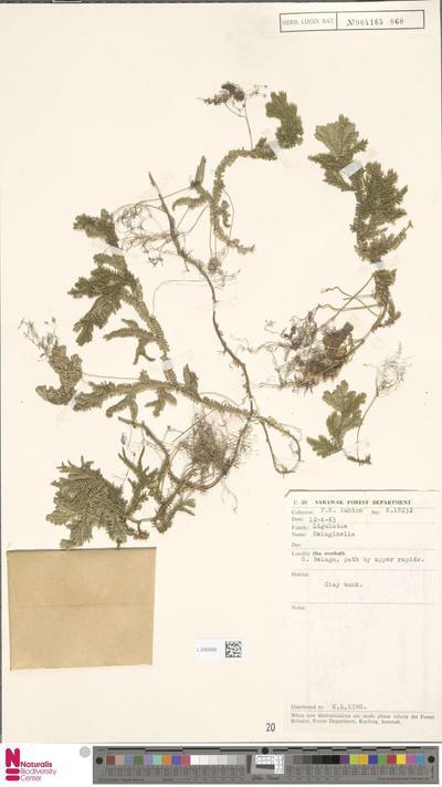 Selaginella  P.Beauv.