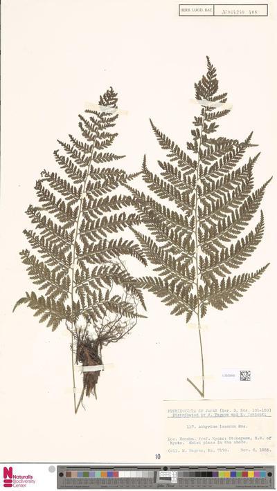 Athyrium iseanum Rosenst.