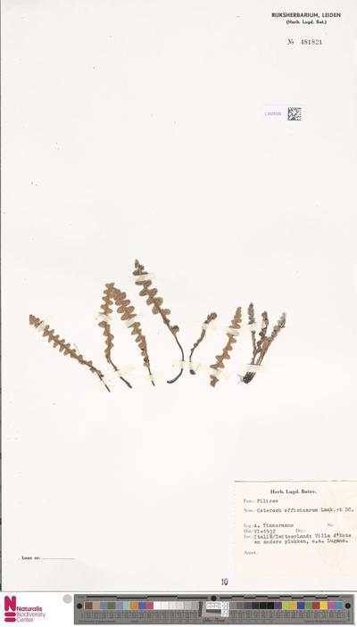 Ceterach officinarum Willd.
