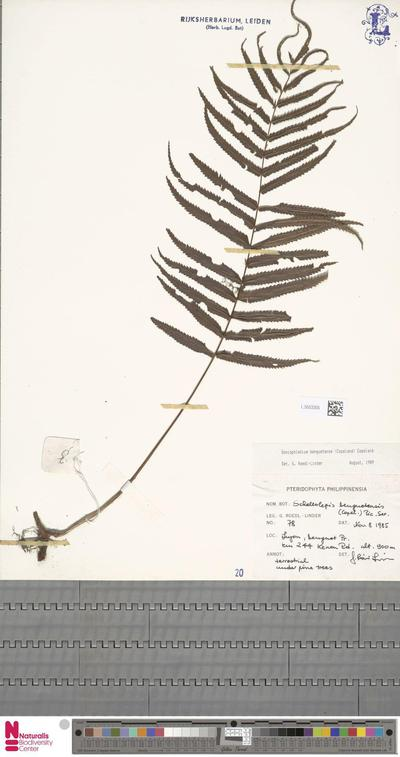 Goniophlebium benguetense (Copel.) Copel.