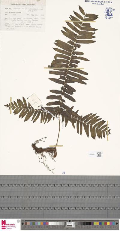 Goniophlebium subauriculatum (Blume) C.Presl