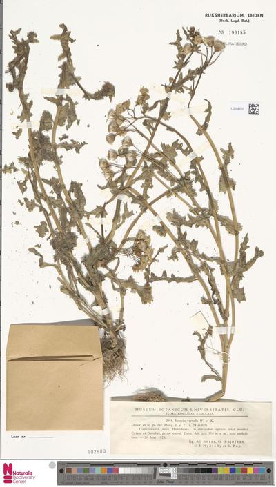 Senecio vernalis Waldst. & Kit.