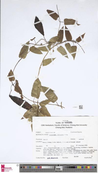Tylophora harmandii Costantin