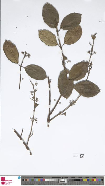 Gymnema thorelii Costantin