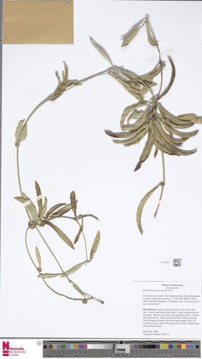 Dischidia acuminata Costantin