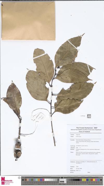 Lithocarpus  Blume