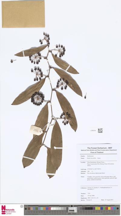 Smilax lanceifolia Roxb.