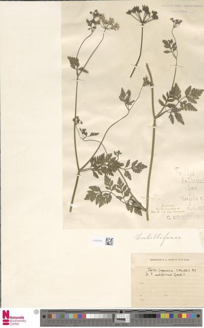 Torilis anthriscus Gaertn.