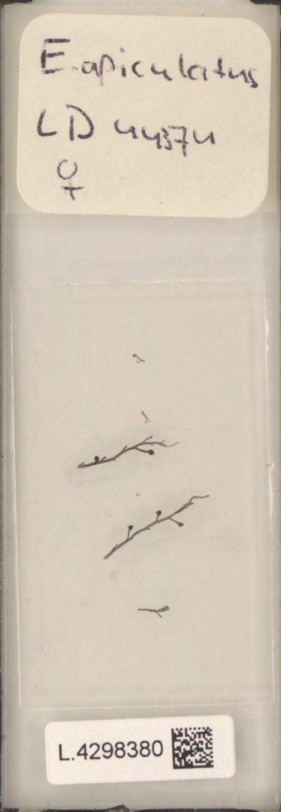 Eupogodon apiculatus (C.Agardh) P.C.Silva