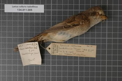 Lanius collurio isabellinus Ehrenberg, 1833