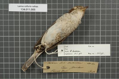 Lanius collurio subsp.