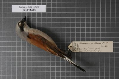 Lanius collurio collurio Linnaeus, 1758