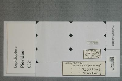 Eurema brigitta punctissima (Matsumura, 1909)