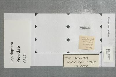 Saletara cycinna ocina (Hewitson)