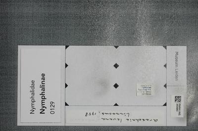 Araschnia levana (Linnaeus, 1758)