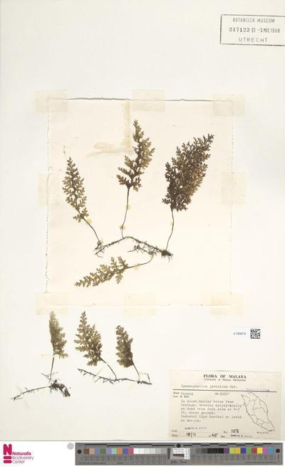 Hymenophyllum javanicum Spreng.