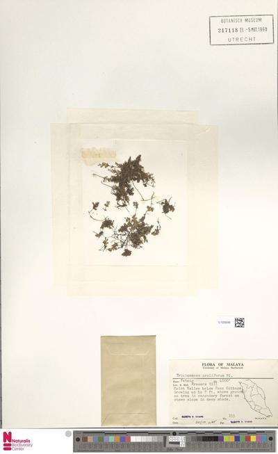 Trichomanes proliferum Blume