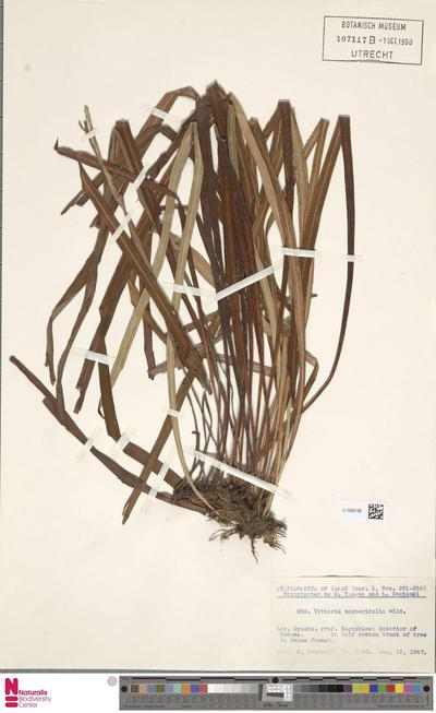 Vittaria zosterifolia Willd.