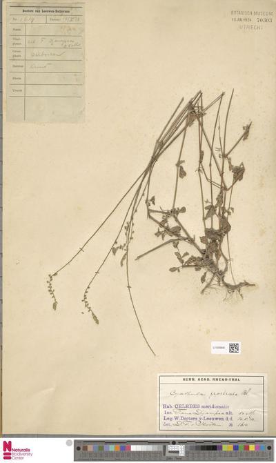 Cyathula prostrata (L.) Blume