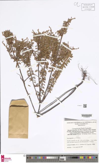 Sauvagesia fruticosa Mart. & Zucc.