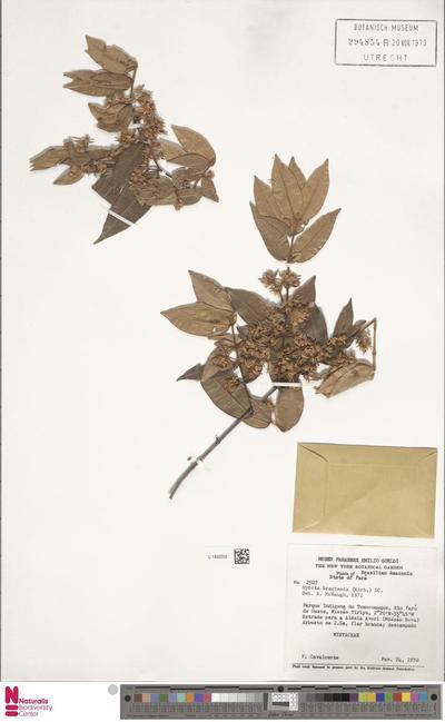 Myrcia bracteata (Rich.) DC.
