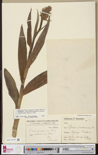 Dactylorhiza majalis (Rchb.) P.F.Hunt & Summerh. subsp. praetermissa (Druce) D.M.Moore & Soó
