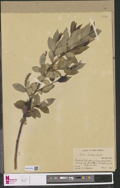 Salix lucida Muhl.