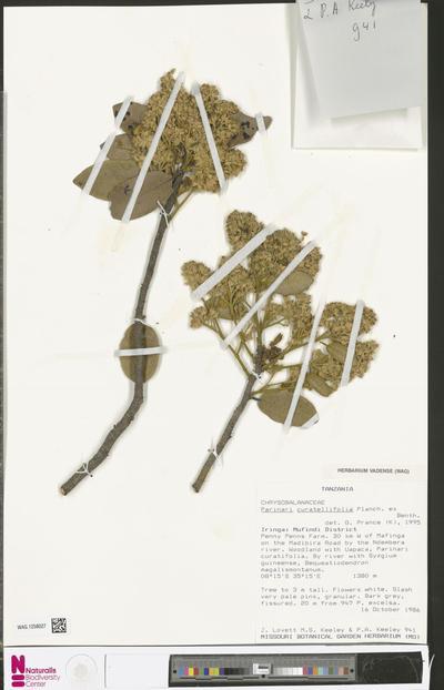 Parinari curatellifolia Planch. ex Benth.