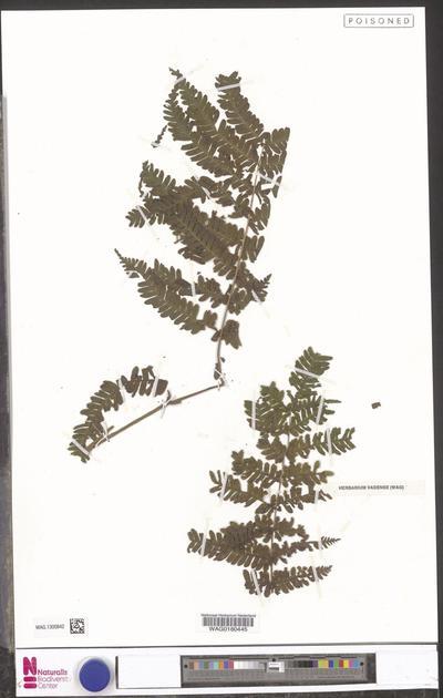 Pteris pteridioides (Hook.) Ballard